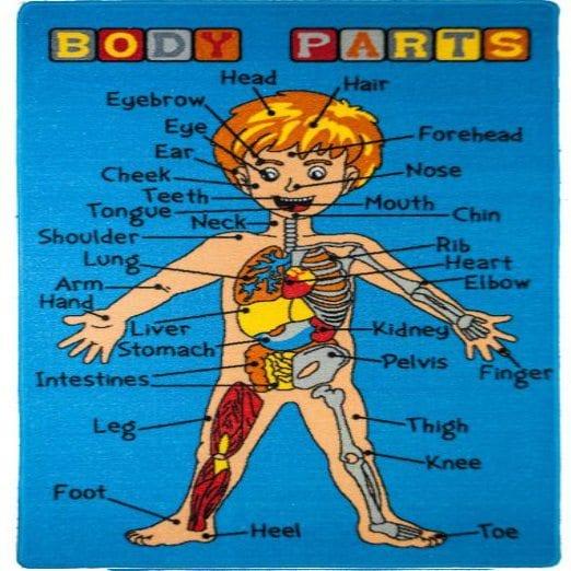 اعضاء الجسم بالصور