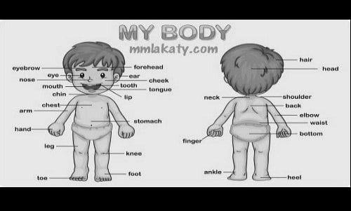 اسماء اعضاء الجسم بالانجليزي