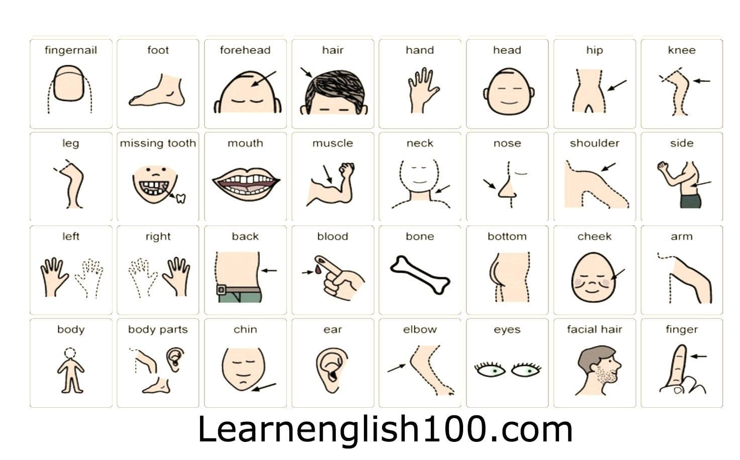 اعضاء الجسم باللغة الانجليزية