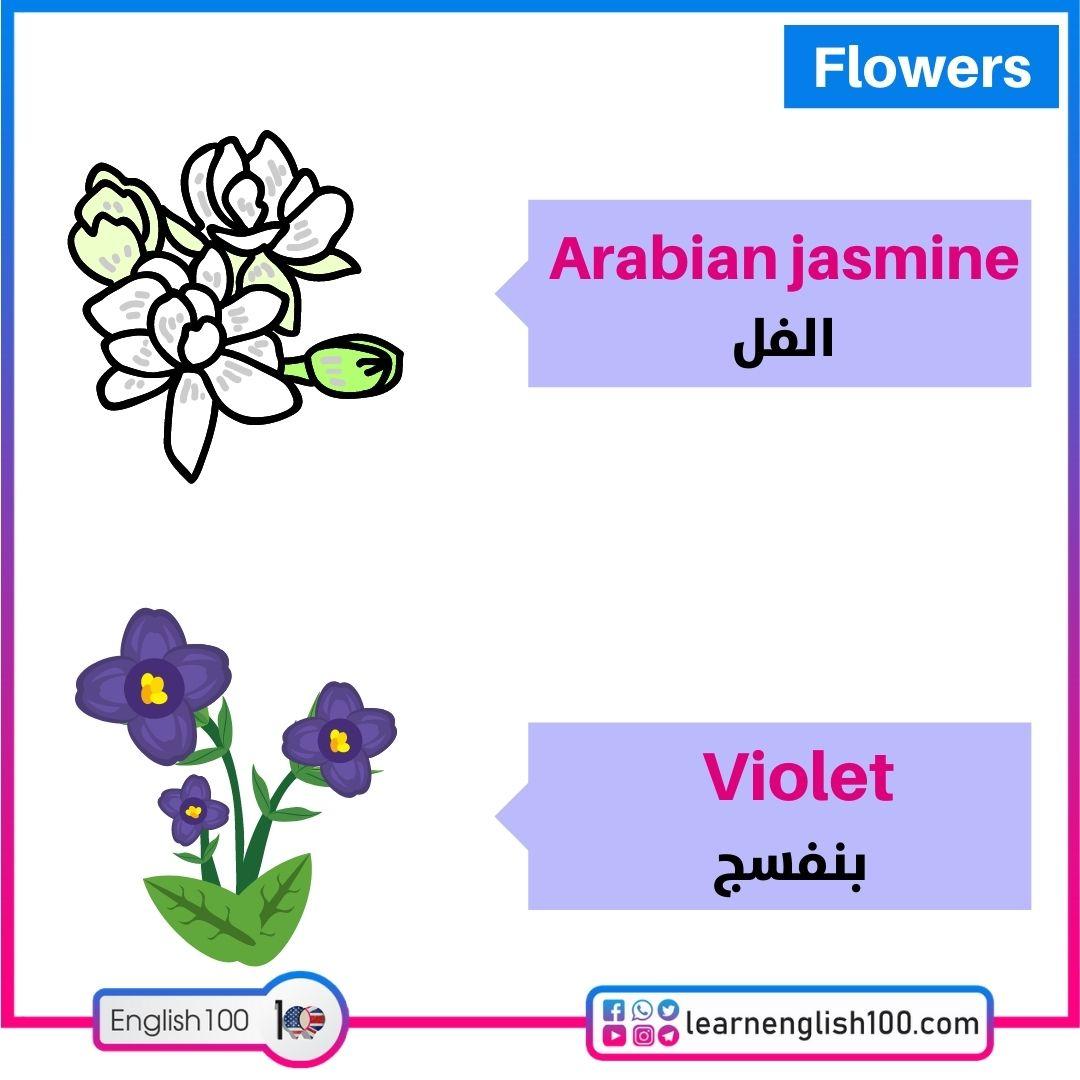 الفل/بنفسج Arabian jasmine/Violet
