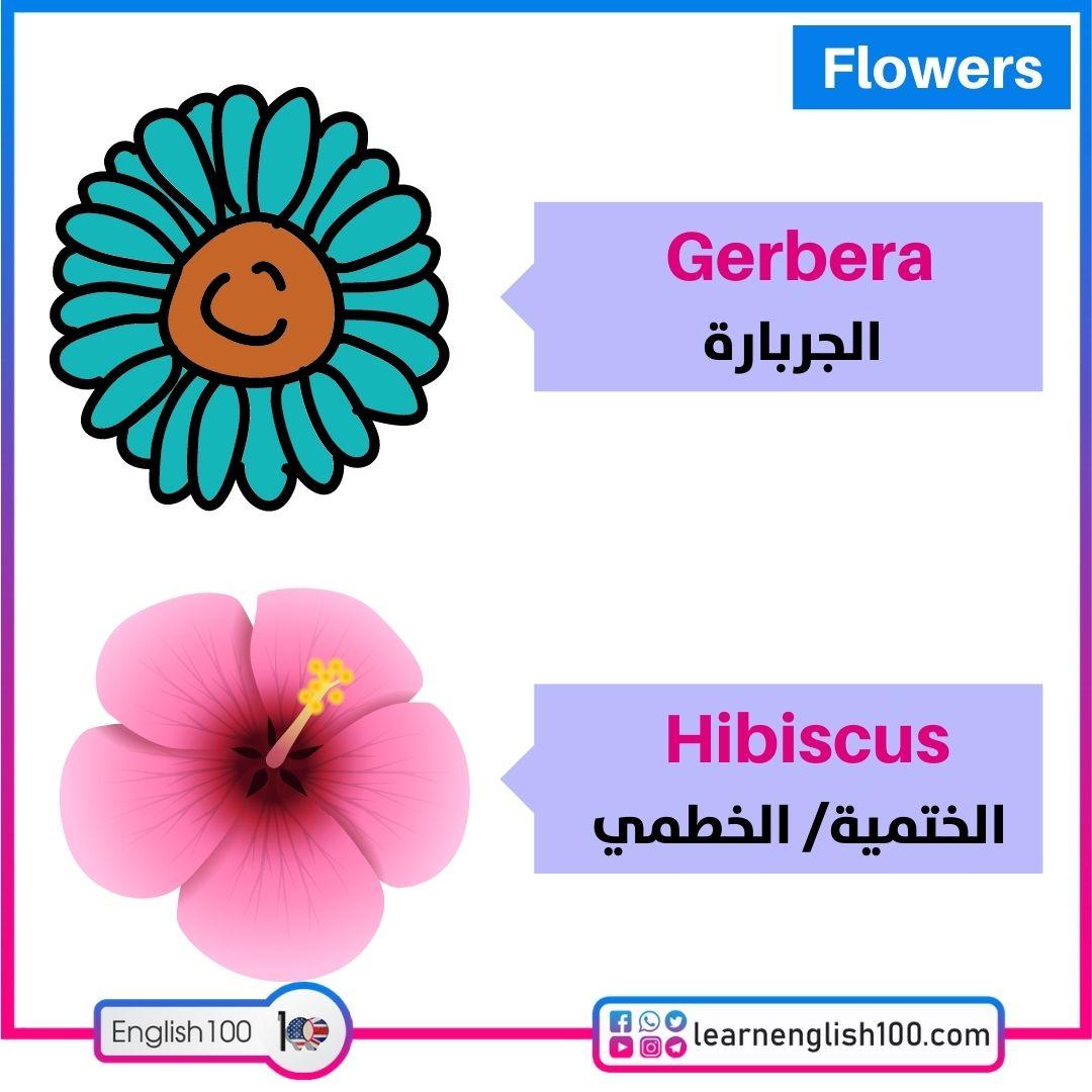 الجربارة/الختمية Gerbara/Hibiscus