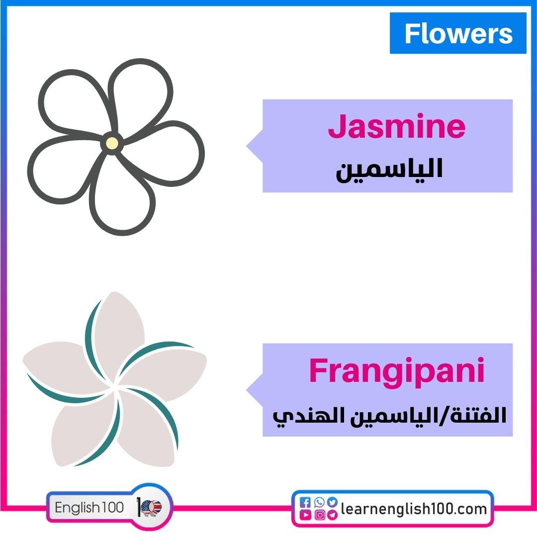 الياسمين/الفتنة Jasmine/Frangipani