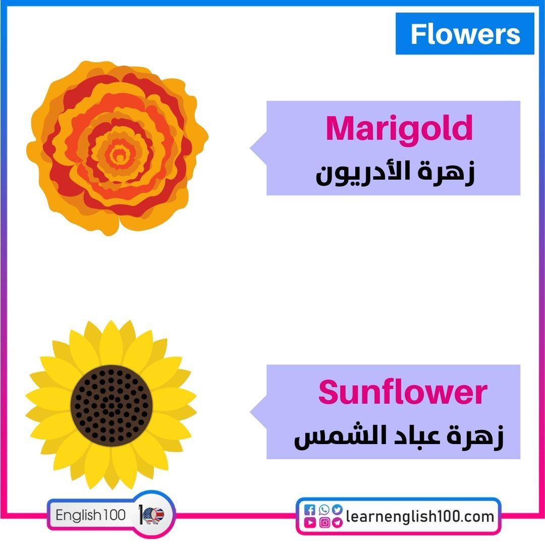 زهرة الأدريون/زهرة عباد الشمس Marigold/Sunflower