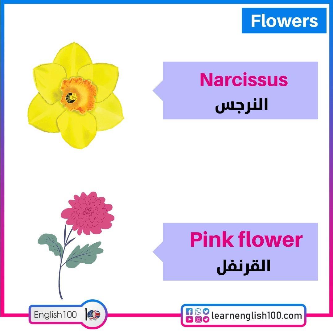 النرجس/القرنفل Narcissus/Pink flower
