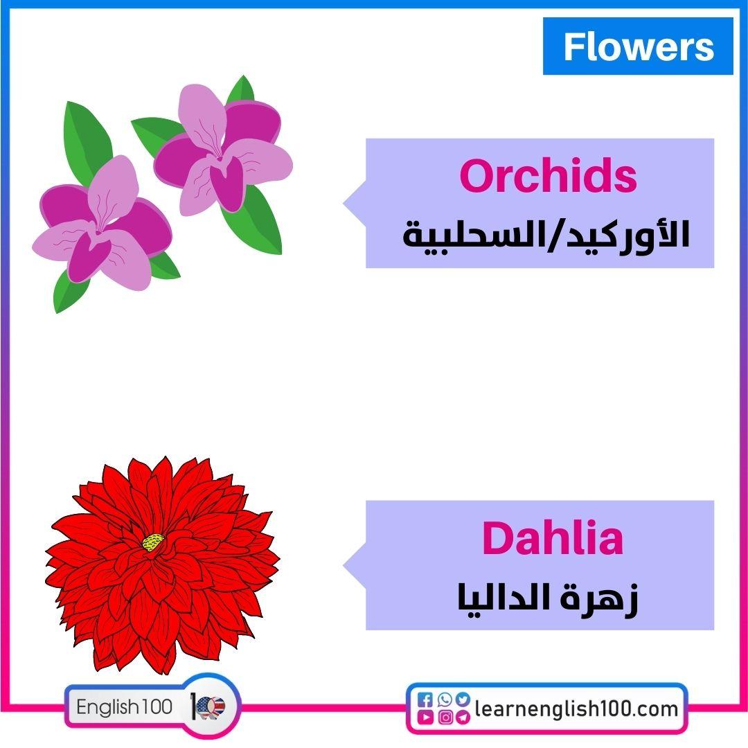 الأوركيد/زهرة الداليا Orchids/Dahlia