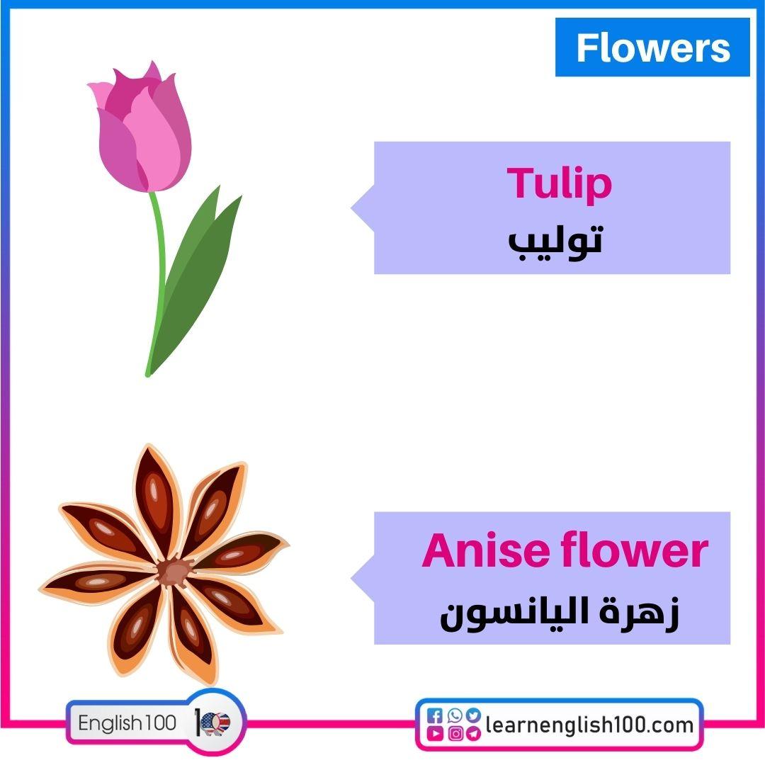 توليب/زهرة اليانسون Tulip/Anise flower